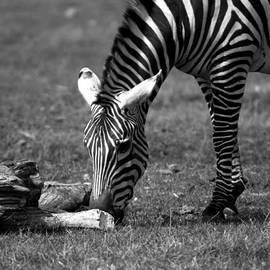 Tracy Winter - Zebra