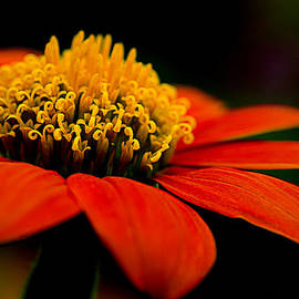 Julie Palencia - Zinnia Bright Orange Macro