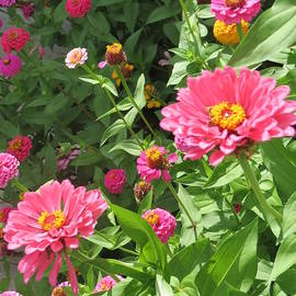 Kay Novy - Zinnia Patch