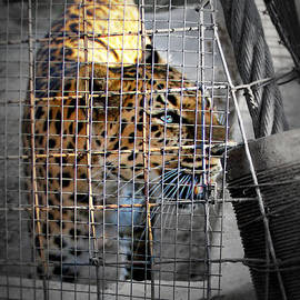 Nicole  Miinch  - Zoo Leopard