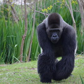 Jeff at JSJ Photography - Zootography of Male Silverback Western Lowland Gorilla on the Prowl
