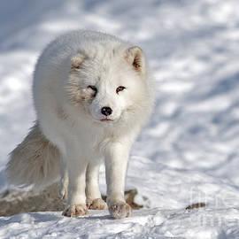 Nina Stavlund - Arctic Fox...
