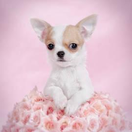 Waldek Dabrowski - Chihuahua puppy portrait
