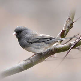 Ann Bridges - Dark-eyed junco