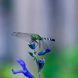 Randy Matthews - Dragonfly