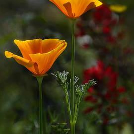 Saija  Lehtonen - Golden Poppies