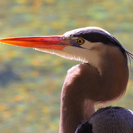 Bruce J Robinson - Great Blue Heron Portrait