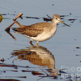 Robert Frederick - Greater Yellowleg