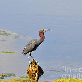 Al Powell Photography USA - Little Blue Heron