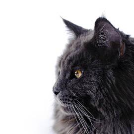 Waldek Dabrowski - Maine Coon cat
