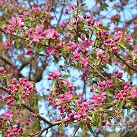 Kathleen Struckle - Pink Blossoms