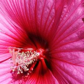 Bruce Bley - Pink Hibiscus Up Close