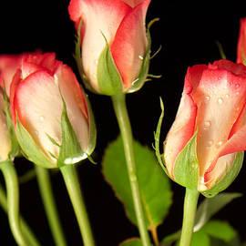 Tom Gowanlock - roses