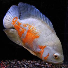 Colette V Hera  Guggenheim  - Tropical Fish