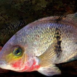 Colette V Hera  Guggenheim  - 1 Fish living in Denmark