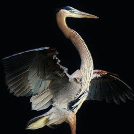 Paulette Thomas - Beautiful Blue Heron