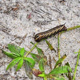 Al Powell Photography USA - Tersa Sphinx Caterpillar