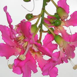 John King - Thorn Tree Flower