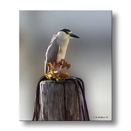 Brian Wallace - Black Crowned Night Heron