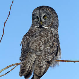 Doug Lloyd - Great Gray Owl
