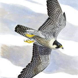 Dag Peterson - Peregrine falcon