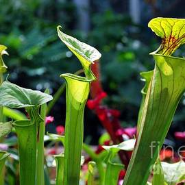 Nancy Mueller - 3 Pitcher Plants