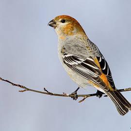 Doug Lloyd - Female Pine Grosbeak