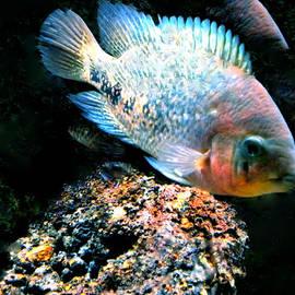 Colette V Hera  Guggenheim  - Fish living in Denmark