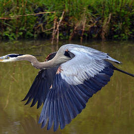 Brian Stevens - Great Blue Heron