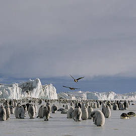 Maria Stenzel - A Colony Of Emperor Penguins Convenes