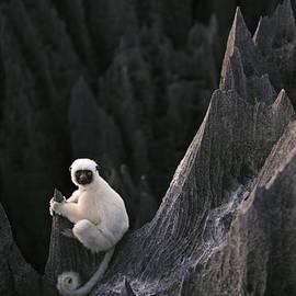 Stephen Alvarez - A Deckens Sifaka Lemur In The Grand