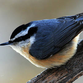 Mike Martin - A Red-breasted Nuthatch
