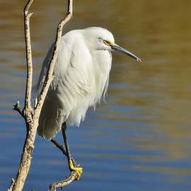 Saija  Lehtonen - A Snowy Egret