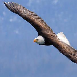 Doug Lloyd - American Bald Eagle