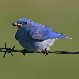 Vickie Emms - American Bluebird