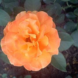 Chad and Stacey Hall - An Orange Rose
