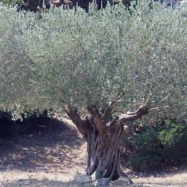 Colette V Hera  Guggenheim  - Ancient Old Olive Tree in South France