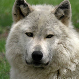 Deborah  Smith - Arctic Wolf Portrait