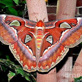Kevin Fortier - Atlas Moth
