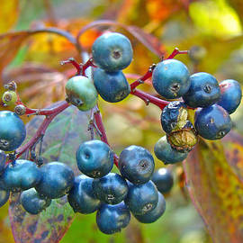 Mother Nature - Autumn Viburnum Berries Series #4