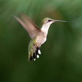 Sabrina L Ryan - Awesome Hummingbird