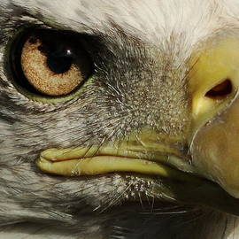 Liz Vernand - Bald Eagle Eye