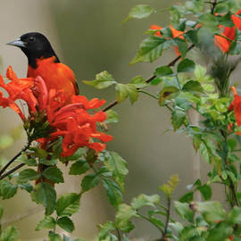 Bradford Martin - Baltimore Oriole in Orange Honeysuckle