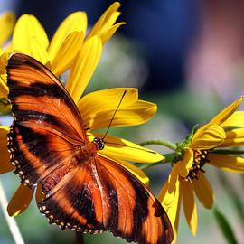 April Wietrecki Green - Banded Orange Butterfly