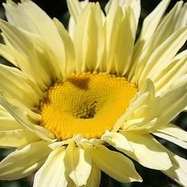 Bruce Bley - Basking Daisy