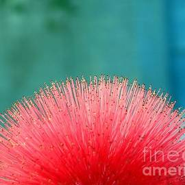 Yali Shi - Beautiful Blossom of Calliandra Haematocephala
