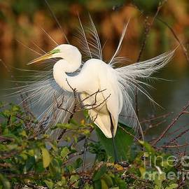 Sabrina L Ryan - Beautiful Great White Egret at Dusk