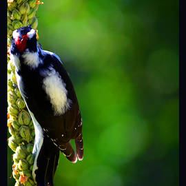 Susanne Still - Beautiful Woodpecker on Mullein