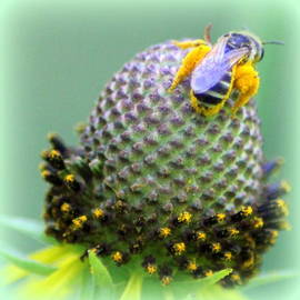 Maureen  McDonald - Bee Covered in Pollen
