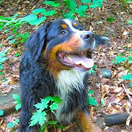 Kathryn Barry - Bernese in the Woods